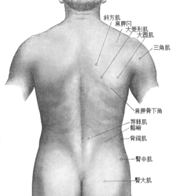 Surface anatomy of the back-Gray-zh.png