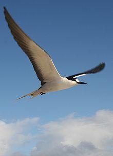 black seabird flying against blue sky