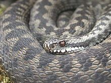 Closeup of snake coils with head resting on coil looking front and left. The gray dorsal scales on the thick coils are clearly seen as having prominent keels.