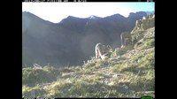 File:Snow leopard family, Spiti, Himachal Pradesh, India.webm