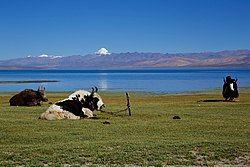 Yaks-Kailash-Manasarovar.jpg