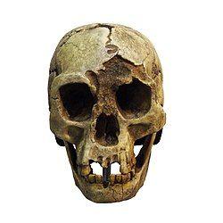 Homo Florensiensis-MGL 95216-P5030051-white.jpg