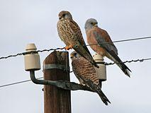 Male and female Lesser Kestrels.jpg