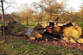 The fallen tree photographed in 2011