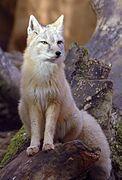 Gray fox standing on a rock