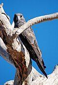 Falco subniger.jpg