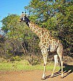 Giraffa camelopardalis -Zambia-8.jpg