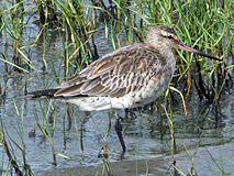 Bar-tailed Godwit Cairns RWD.jpg