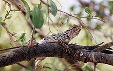 A lizard from Thar desert