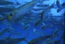 File:Sardines.ogv