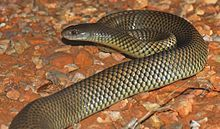 A thick-set brownish snake on gravel