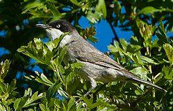 Eastern Orphean Warbler - Uzbekistan S4E8419 (18675147404)-cropped.jpg