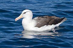 Thalassarche melanophrys - SE Tasmania.jpg