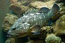 乌鳍石斑鱼 Epinephelus marginatus