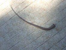 File:Severed skink tail.webm