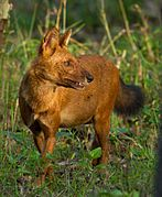 Red canine in grass