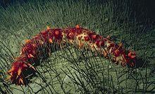 Parastichopus californicus.jpg