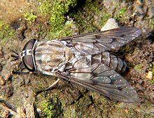 Horse fly Tabanus 2.jpg
