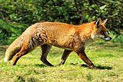 Red fox on grass