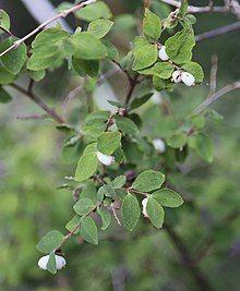 Mountain snowberry Symphoricarpus rotundifolius berries.jpg