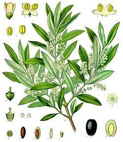 Olea europaea - Köhler–s Medizinal-Pflanzen-229.jpg