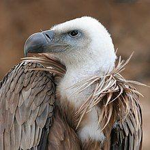 Vulture beak sideview A.jpg