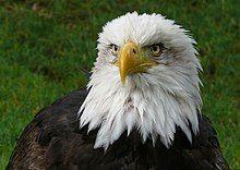 Águila calva.jpg