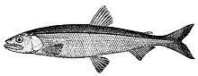 Osmerus mordax (line art).jpg