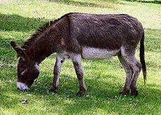 Donkey in Clovelly, North Devon, England.jpg