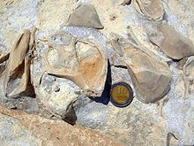 Fossil gastropod and bivalves from Israel