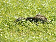 Photograph of a hare crouching in a hollow