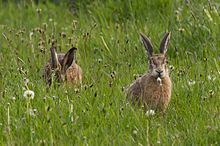 Photograph of a group of feeding hares