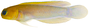 Opistognathus aurifrons - pone.0010676.g065.png