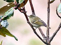 Hume's Warbler I2 IMG 3401.jpg