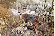 Gray and red fox in shrubland