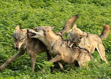 Photograph of three wolves running and biting each other