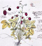 Drawing of wild strawberry in Historia platarum