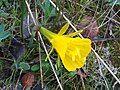 Narcissus bulbocodium 2009Mach15 Closeup2 DehesaBoyalPuertollano.jpg