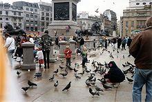 Pigeons flocking to London's Trafalgar Square