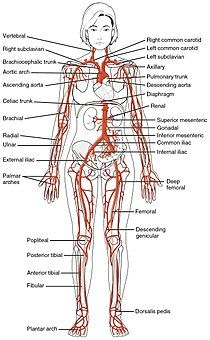 2120 Major Systemic Artery.jpg