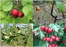Crataegus, various species, fruit.jpg