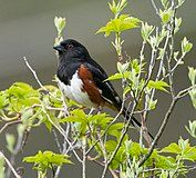 Pipilo erythrophthalmus -Quabbin Reservoir, Massachusetts, USA -male-8.jpg