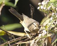 Radde's Warbler (Phylloscopus schwarzi).jpg