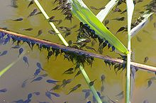 Tadpoles of common toad