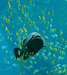 Giant grouper swimming among schools of other fish