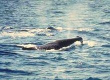 Sperm whale.jpg