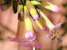 Cantua buxifolia-Apis mellifera.jpg