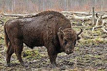 European bison, facing right and looking at the camera