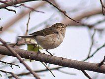 Greenish Warbler I IMG 0565.jpg