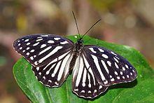 Penthema formosanum dorsal view 20150403.jpg